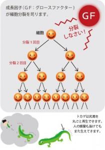 グロースファクター(成長因子)